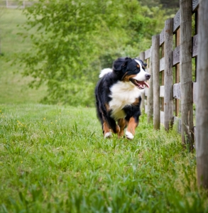 bernese running
