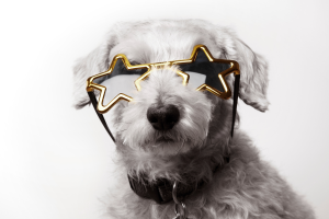 Small white dog in gold star sunglasses