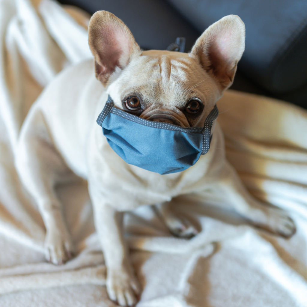 A blonde french bulldog with a blue mask